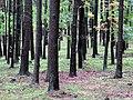 Грибной лес. Фото Виктора Белоусова. - panoramio.jpg