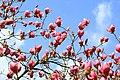 Дерево с бутонами розовых магнолий.jpg