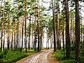Дорога в сосновом бору - panoramio (1).jpg