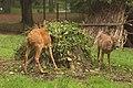 Косули в зверинце замка Шёнборна - Roe deer in the zoo castle Schönborn (10233859943).jpg