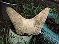 Мамонтовая фауна реки Витим. Древний баран.JPG