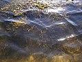 Онежский берег. Водоросли.jpg