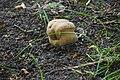 Сосново-дубові насадження Боровик DSC 0064.jpg
