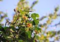 Тюльпанове дерево Ворзель.jpg