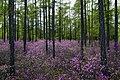 Цветение багульника на северном берегу Байкала.jpg