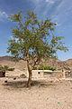 شجرة داخل منطقه بير زغير 2.jpg