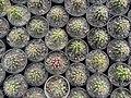 گلخانه کاکتوس دنیای خار در قم. کلکسیون انواع کاکتوس 28.jpg