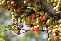 มะเดื่ออุทุมพร Ficus racemosa L (3).jpg