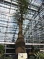 南山植物园-温室-瓶子树 - panoramio.jpg