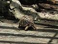 印度星龜 Geochelone elegans - panoramio (1).jpg