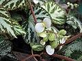 地氈海棠(銀寶石秋海棠) Begonia imperialis 'Silver Jewel' -台中植物園 Taichung Botanical Garden, Taiwan- (15505574138).jpg