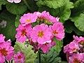報春花 Primula malacoides Beauty Series -香港花展 Hong Kong Flower Show- (39180055125).jpg