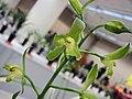 報歲五花八門 Cymbidium sinense 'Multifarious' -香港沙田國蘭展 Shatin Orchid Show, Hong Kong- (12204561335).jpg