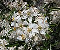 墨西哥橘屬 Choisya Goldfingers Limo -比利時國家植物園 Belgium National Botanic Garden- (9229777976).jpg