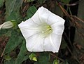 旋花 Calystegia sepium -伯明翰 Cannon Hill Park, Birmingham- (39869934595).jpg