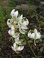 歐洲百合 Lilium martagon -英格蘭 Wisley Gardens, England- (9229894944).jpg
