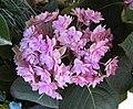 繡球花-重瓣 Hydrangea macrophylla 'Forever & Ever Double Pink' -斯洛文尼亞 Lake Bled, Sloven (27490762841).jpg