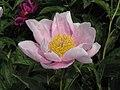 芍藥-單瓣型 Paeonia lactiflora Single-series -瀋陽植物園 Shenyang Botanical Garden, China- (9190630795).jpg