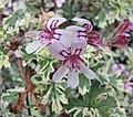 花葉香葉天竺葵 Pelargonium graveolens 'variegatum' -比利時國家植物園 Belgium National Botanic Garden- (9193443586).jpg