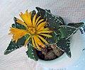 荒波 Faucaria tuberculosa -香港北區花鳥蟲魚展 North District Flower Show, Hong Kong- (9213335475).jpg