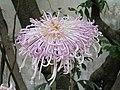 菊花-桃李爭艷 Chrysanthemum morifolium 'Peach & Pear Contending for Beauty' -香港圓玄學院 Hong Kong Yuen Yuen Institute- (11979996985).jpg
