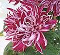 菊花-銀虎嘯 Chrysanthemum morifolium 'Silver Tiger Roaring' -香港圓玄學院 Hong Kong Yuen Yuen Institute- (12099000215).jpg