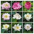 蓮花 Nelumbo nucifera cultivars 2 -澳門龍環葡韻 Macau Lotus Show, China- (39710836670).jpg