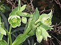 鐵筷子屬 Helleborus foetidus -墨爾本植物園 Royal Botanic Gardens, Melbourne- (9219873031).jpg