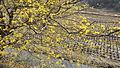 이천 산수유 축제 나무.jpg