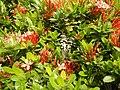 09019jfClose-ups of butterflies on flowers Bulacanfvf 01.jpg
