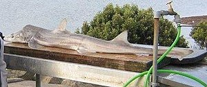 Gummy shark - This gummy shark was caught at Hastings, Western Point, Victoria, using cured eel bait.