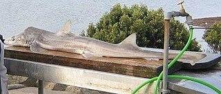 Gummy shark Species of shark