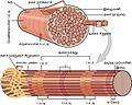 1022 Muscle Fibers (small) ta.jpg