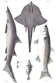1844 BostonJournal NaturalHistory v4 illus3.png