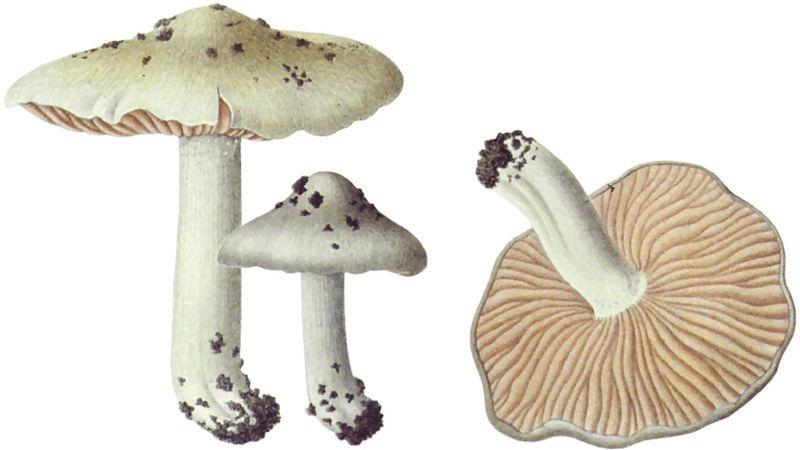 File:1907 Entoloma saundersii.jpg