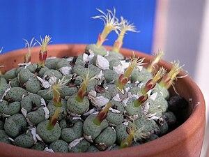 Conophytum truncatum - Image: 1 Conophytum truncatum prev calitzdorpense