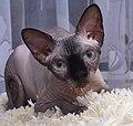 1 adult cat Sphynx. img 012.jpg