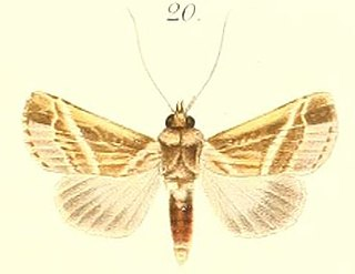 <i>Risoba repugnans</i> species of insect