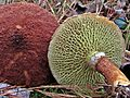 2011-10-26 Suillus cavipes (Opatowski) Smith & Thiers 177547.jpg