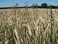 20110627Weizenfeld Hockenheim14.jpg