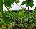 20120802南京江宁开发区G205道边棉桃2 - panoramio.jpg