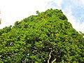 20121015Quercus robur Fastigiata1.jpg
