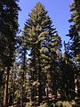 2013-09-20 10 49 25 Large Pine along the Sherman Tree Trail in Sequoia National Park.JPG