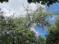 20140518Elaeagnus angustifolia2.jpg