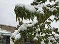 2015-05-07 07 47 10 New green leaves covered by a late spring wet snowfall on a Freeman's Maple on Silver Street in Elko, Nevada.jpg