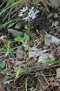 <i>Allium brandegeei</i> species of plant
