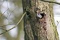 20150419 050 Kessel Weerdbeemden Vliegende Pimpelmees (17201215411).jpg