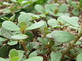 20150720Portulaca oleracea1.jpg