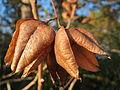 20151128Koelreuteria paniculata2.jpg