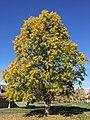 2016-11-15 11 18 57 Sawtooth Oak displaying autumn foliage along Franklin Farm Road near Old Dairy Road in the Franklin Farm section of Oak Hill, Fairfax County, Virginia.jpg